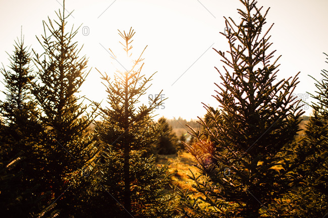 Sunset behind pine trees on a farm