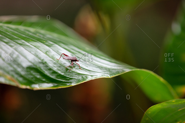 Bug crawling on green leaf in the jungle