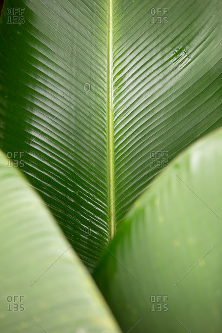 Detail of tropical green leaves