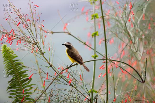 Great kiskadee bird