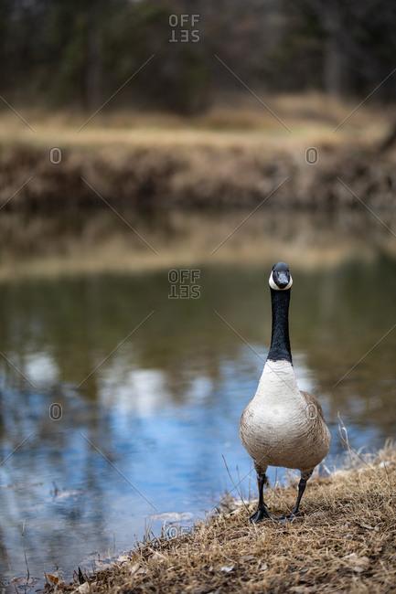 Goose on riverbank