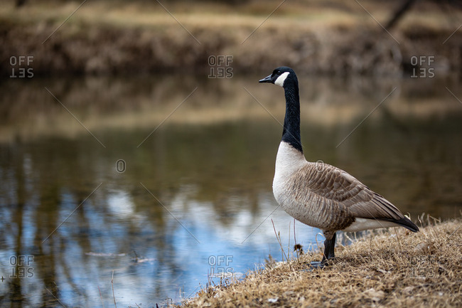 Profile of a goose standing on riverbank