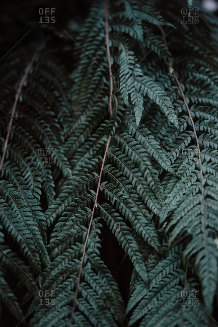 Dark leaves of wonderful fern growing in amazing forest in Spain