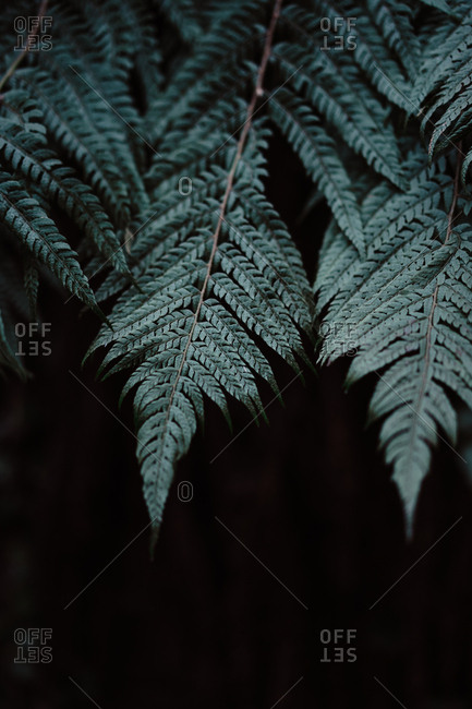 Dark leaves of wonderful fern growing in amazing forest in Spain