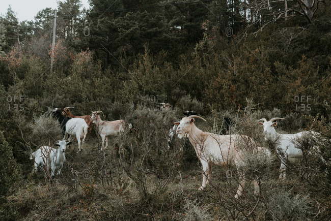 Side view of funny goats pasturing between verdant fresh plants on field near trees in Pyrenees