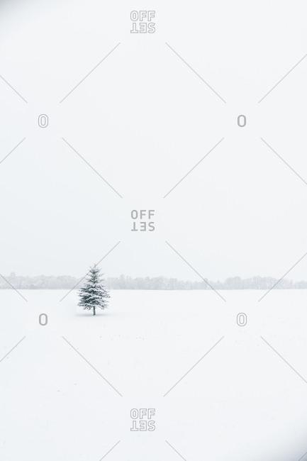 Lonely coniferous wood growing between huge white field in Klaipeda, Lithuania