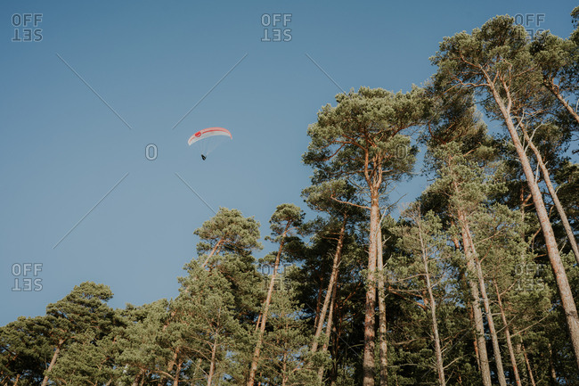 From below human flying on parachute in blue sky near top of coniferous woods in sunny day in Klaipeda, Lithuania