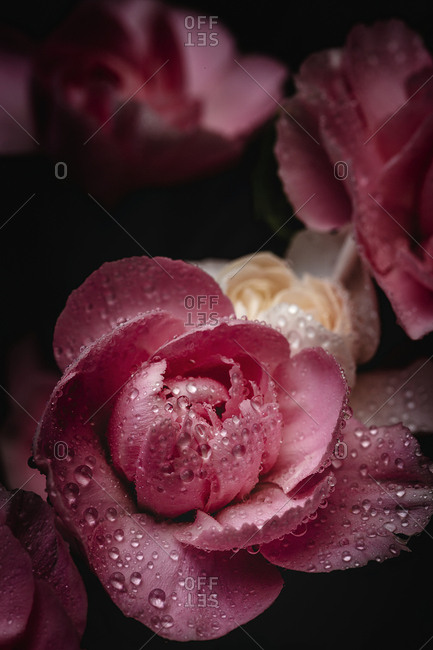 Fresh bouquet of pink carnations flowers with dark background