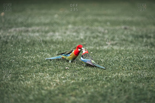 Back view of wonderful colorful birds flying near green field in park in Auckland, New Zealand