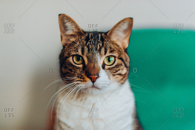 Domestic beautiful cat looking at camera on blurred background
