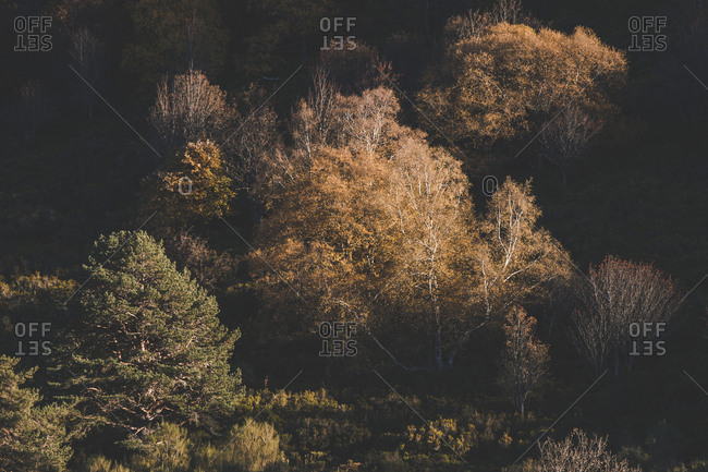 Landscape of trees with pale fall foliage in soft light of sun in woodland