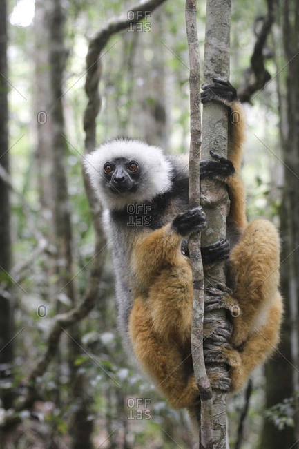Funny sifakas on jungle ground