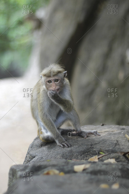Funny macaque looking at camera
