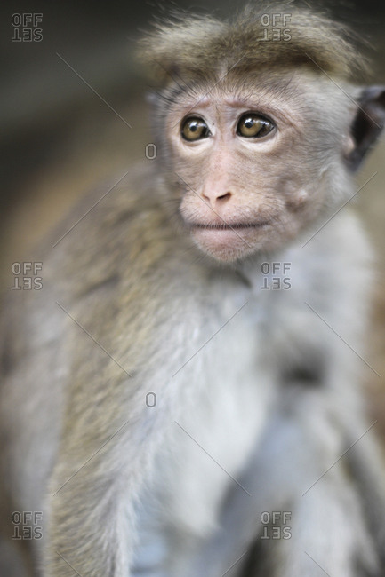 Funny macaque looking away
