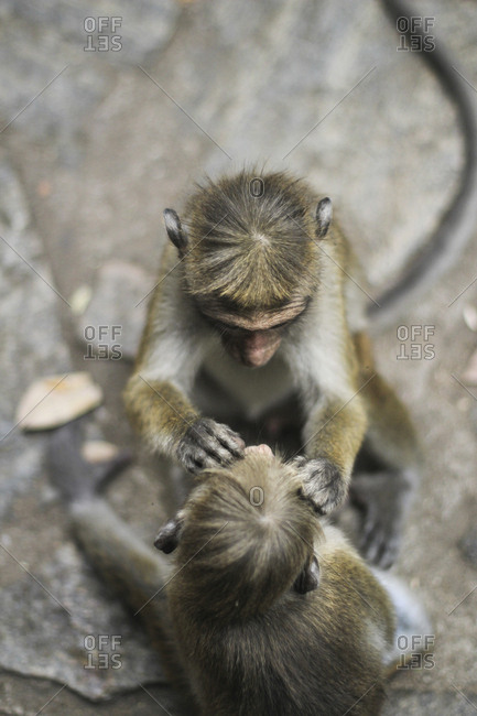 Two cute macaques searching for insects in fur of each other while sitting on stones in Sri Lanka