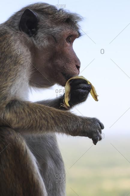 Macaque eating banana