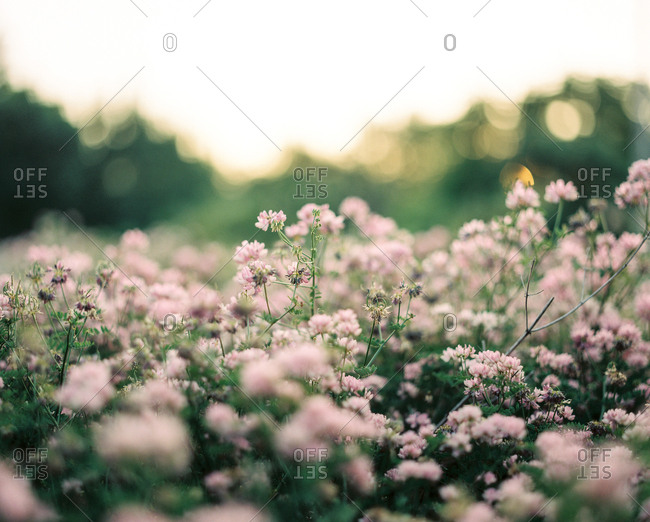Field filled with pink blossoming flowers
