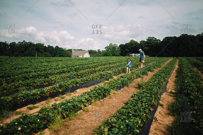 Father and daughter picking strawberries
