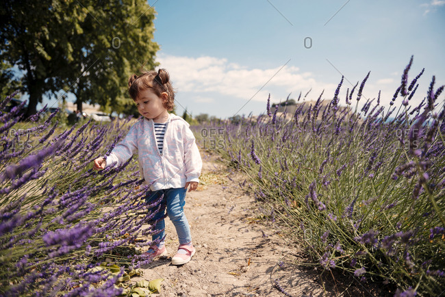 France- Grignan- baby girl exploring lavender blossoms