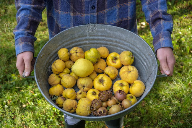 Young man holding zinc tub with harvested quinces and medlars- partial view