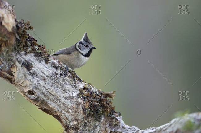 Crested tit on branch