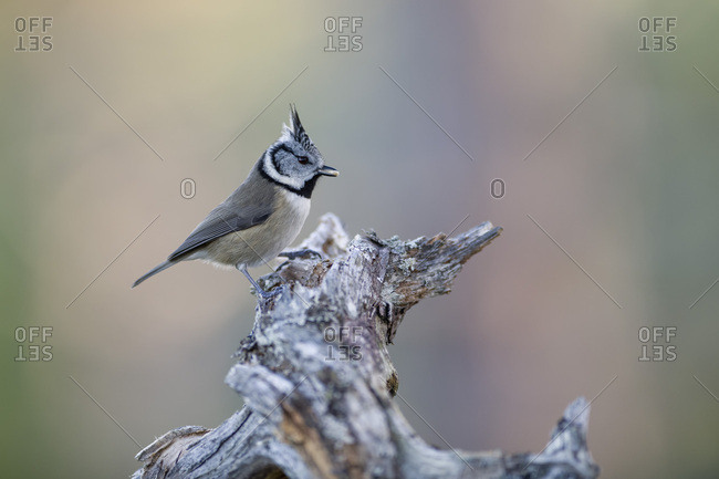 Crested tit with food
