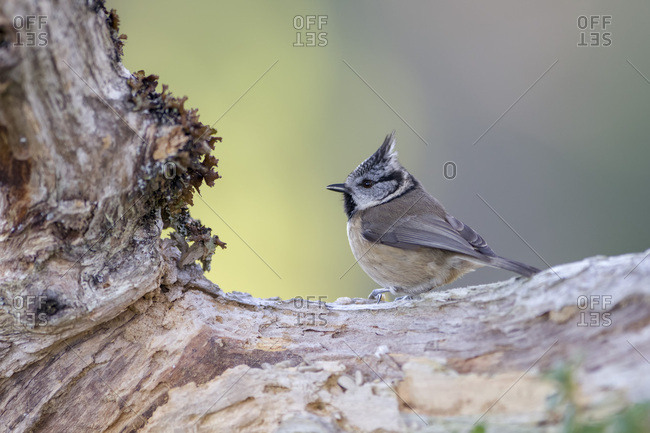 Crested tit on tree trunk