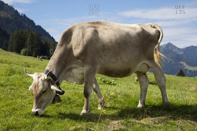 Austria- Vorarlberg- Allgaeu Alps- brown cattle