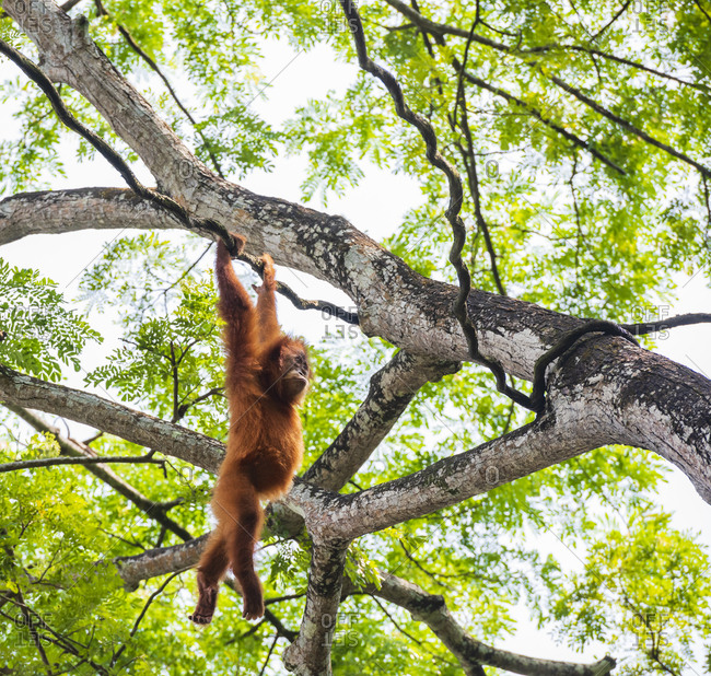 Orangutan hang on forest rattan
