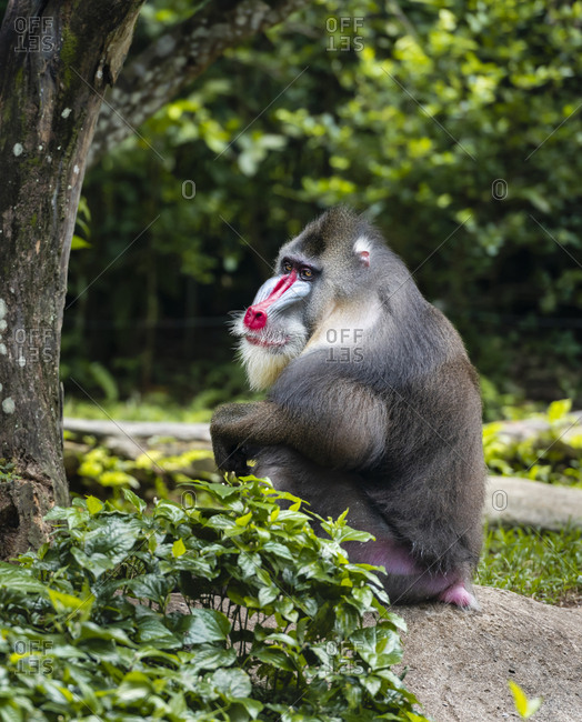Mandrill sit on the rock under the tree