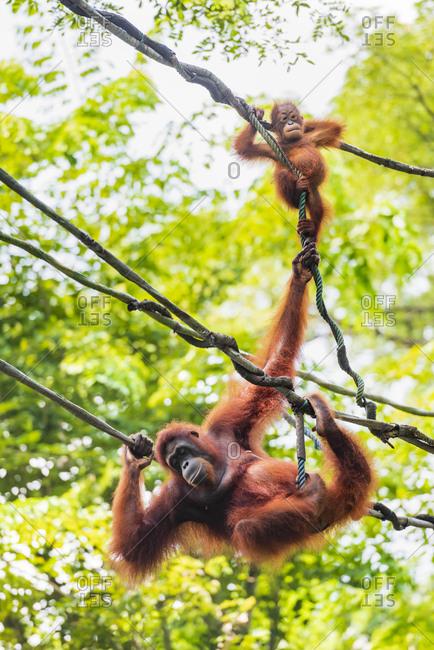 Female orangutan and baby orangutan swinging on rope