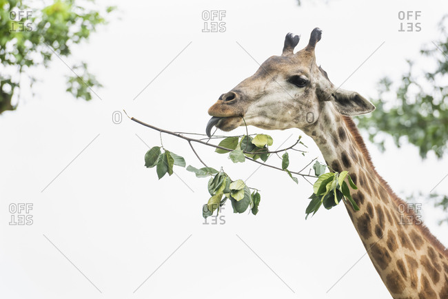 Close-up of giraffe eat leaves