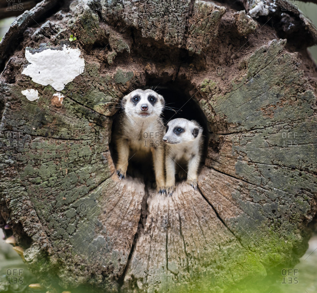 Two cute meerkat stay in hole of wood