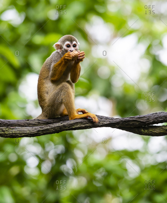 Squirrel monkey sitting on rattan and eating nut