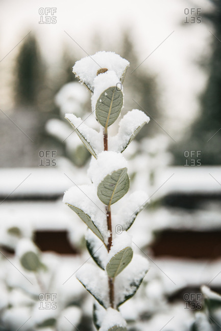 Snow on a branch with trees in the background