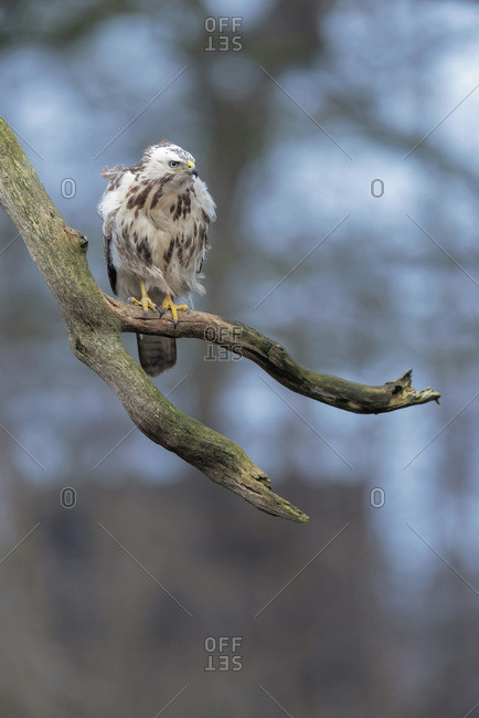 Northern goshawk on a tree branch