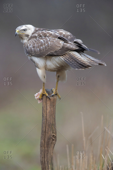 Northern goshawk perched on a tree