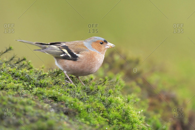 Close up of a male common chaffinch