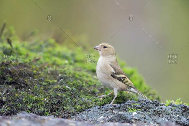 Common chaffinch on the ground