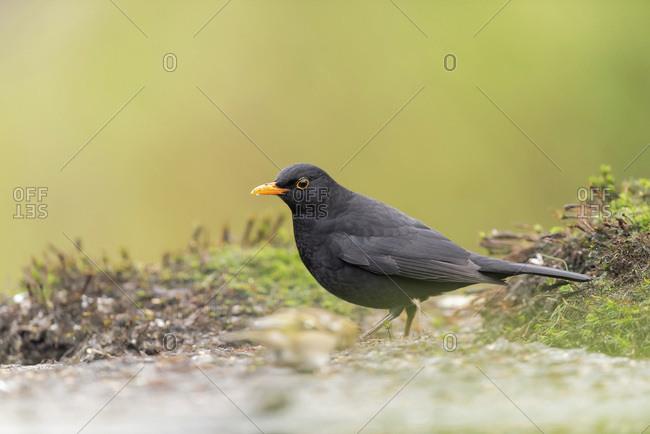 Blackbird on the ground - Offset