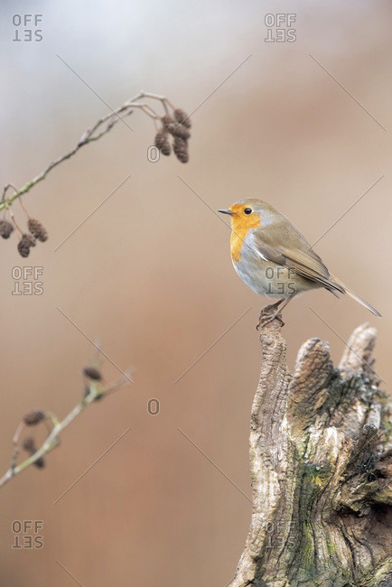 A robin red breast bird on a tree
