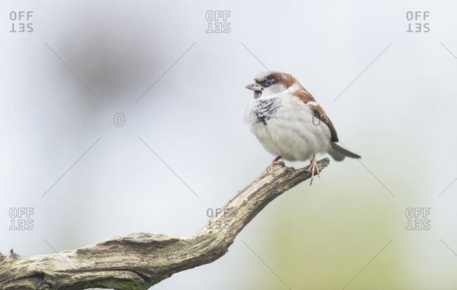 Close up of a house sparrow