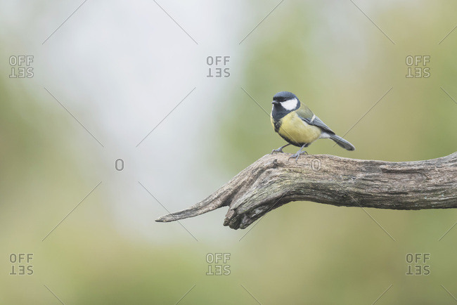 Close up of a great tit perched on a tree branch