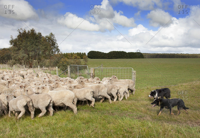Dogs rounding up sheep in Australia