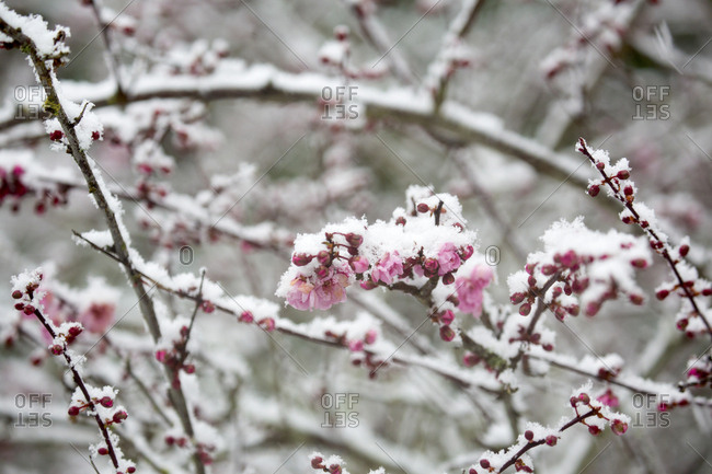 Cherry blossoms with light snowfall