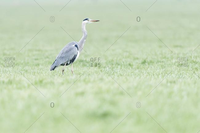Grey heron in a grassy field