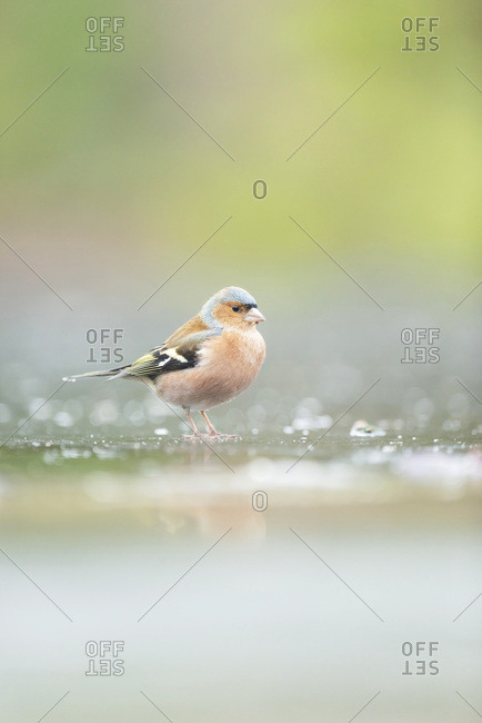 Male common chaffinch standing in water