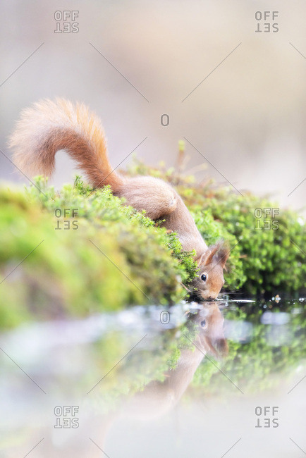 Red squirrel drinking from lake