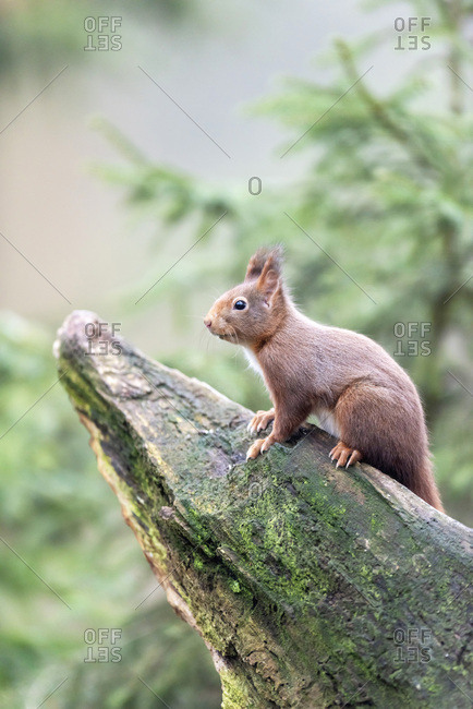 Red squirrel on a mossy tree