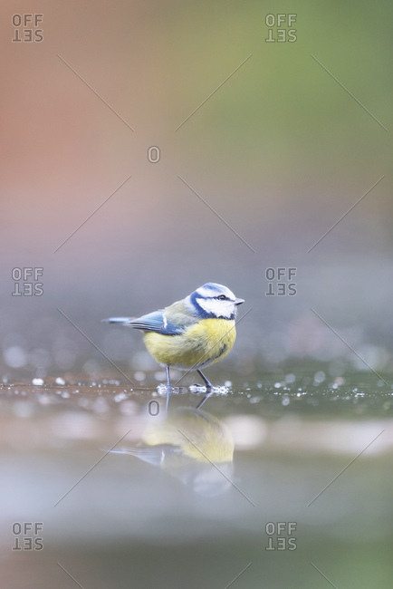 Great tit bird reflecting in water